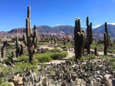 kaktusy z Argentyny